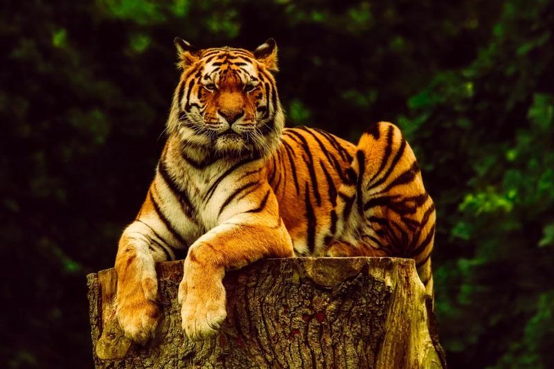 tronc d'arbre avec tigre